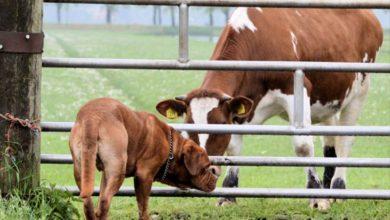 Photo of Cái chết oan ức của con bò và bài học về sự bất cẩn trong lời nói