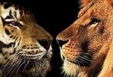 Photo of Từ trận chiến giữa hổ và sư tử, hiểu ra đạo lý thâm sâu trong giao tiếp