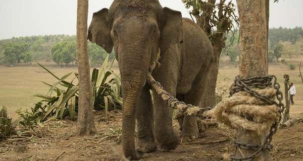 chuyen con voi cai cot Chuyện con voi và sợi dây thừng: Không dám đối mặt với điểm yếu của bản thân, cả đời chẳng bao giờ thành công!