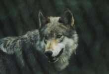 Photo of 5 phim hay về loài sói khôn ngoan và mạnh mẽ